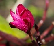 Plumeria blommar nytt Fotografering för Bildbyråer