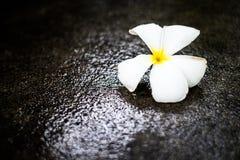 Plumeria blommar på det våta golvet, stämmer lågt Arkivbild