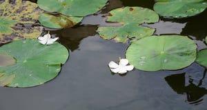 Plumeria blommar på lotusblommasjön Arkivbild