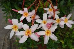 Plumeria blommar (plumeria) royaltyfri foto