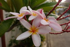 Plumeria blommar (plumeria) royaltyfria foton