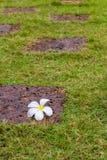 Plumeria blommar vaggar på Royaltyfri Bild