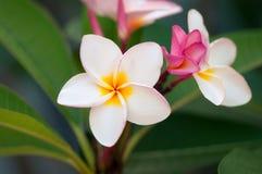 Plumeria blomstrar (frangipaniblommor, det frangipani-, pagodträdet eller tempelträdet) Royaltyfri Foto