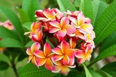 Plumeria bloom Royalty Free Stock Photo
