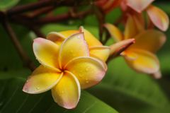Plumeria. Blooming plumeria in the Royalty Free Stock Images