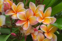Plumeria blooming. In the garden Royalty Free Stock Image