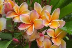 Plumeria blooming Royalty Free Stock Image