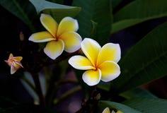 Plumeria Blooms Royalty Free Stock Photo