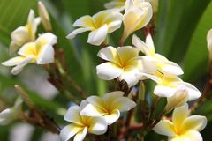 Plumeria Blooms in flower bed stock image