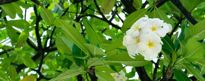 Plumeria Blooms in Tree Stock Photography