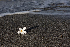 Plumeria Blossom on Black Sand Royalty Free Stock Photography