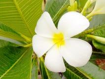 Plumeria blossom. Close up of plumeria blossom kauai hawaii Stock Image