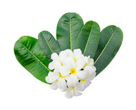 Plumeria blossom and leaves stock images