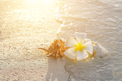 Plumeria blossom and shell on sunset sand beach with copy space. Maldives Stock Image