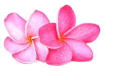 Plumeria Blossoms Royalty Free Stock Photos
