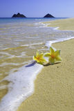 Plumeria blossoms on the sand Royalty Free Stock Image