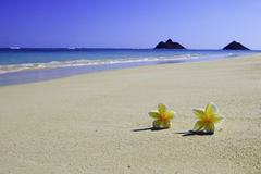 Plumeria blossoms on the sand Stock Image