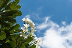 Plumeria on blue sky background. Close up shot of Plumeria on blue sky background Royalty Free Stock Photos