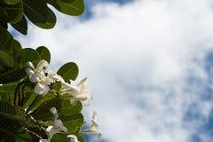 Plumeria on blue sky background. Close up shot of Plumeria on blue sky background Royalty Free Stock Images