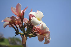Plumeria with blue sky Stock Photography