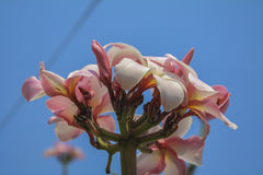 Plumeria with blue sky Stock Photo
