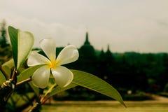 Plumeria-Blume stockfotografie