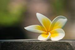 Plumeria-Blume (Frangipani) stockfotos