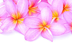Plumeria for border. Pink plumeria isolated on white background Royalty Free Stock Photography