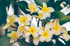 Plumeria. Bouquet is beautiful. color is pastel royalty free stock image
