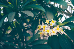 Plumeria. Bouquet is beautiful. color is pastel stock images