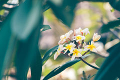 Plumeria. Bouquet is beautiful. color is pastel stock image