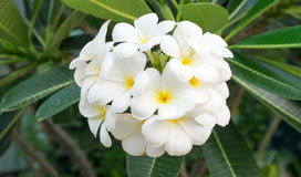 The Plumeria Bouquet royalty free stock photos