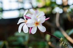 Plumeria branco Fotos de Stock