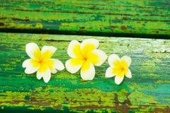 Plumeria branco Imagem de Stock