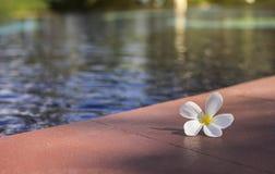 Plumeria branco do franjipani perto da piscina, luz do sol, foco seletivo, efeito da luz adicionado fotos de stock royalty free