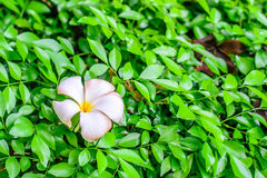 Plumeria branco e amarelo Fotos de Stock Royalty Free