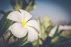 Plumeria branco e amarelo (flores do frangipani) Imagem de Stock