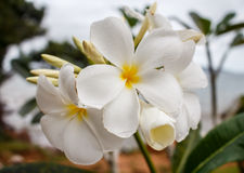 Plumeria branco na árvore do plumeria, Foto de Stock