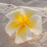 Plumeria branco no estilo do vintage da areia Imagem de Stock