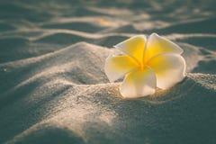 Plumeria branco no estilo do vintage da areia Imagem de Stock Royalty Free