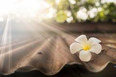 Plumeria branco no telhado velho do zinco Fotografia de Stock