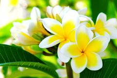 Plumeria branco ou frangipani O perfume doce do Plumeria branco floresce no jardim Frangipani do close up Fotos de Stock