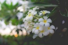 Plumeria branco ou frangipani Perfume doce do Plumeria branco fl Imagem de Stock Royalty Free