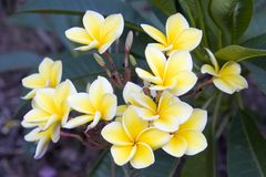 Plumeria Bunch Royalty Free Stock Photo