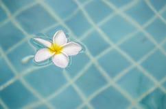 Plumeria che galleggia sull'acqua blu Fotografia Stock