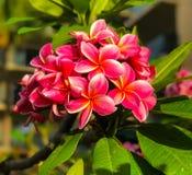Plumeria cinco floraciones del pétalo foto de archivo libre de regalías