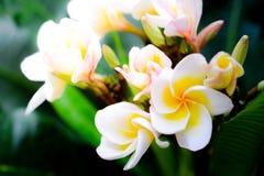 Plumeria close up  on background Royalty Free Stock Photo