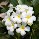 Plumeria. Closeup beautiful plumeria in garden Stock Photo