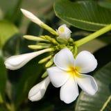 Plumeria. Closeup beautiful plumeria in garden Royalty Free Stock Photo