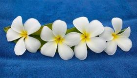 Plumeria Royalty Free Stock Images